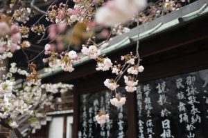 If you are going to move to Japan, and buy a house in Tokyo, you will be first to experience the cherry blossom because Tokyo usually sees its first blossoms in the dying days of March