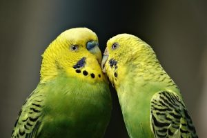 Exotic pets import regulations in Japan - parakeets