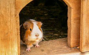 Exotic pets - guinea pig