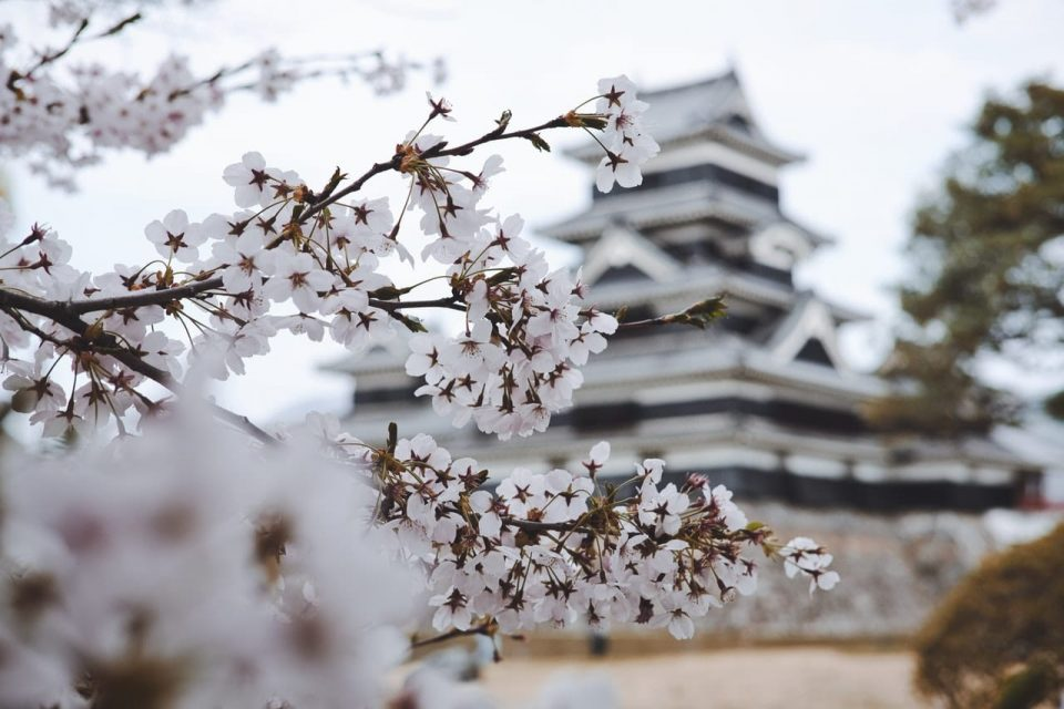 cherry blossom in front of the Japanese temple